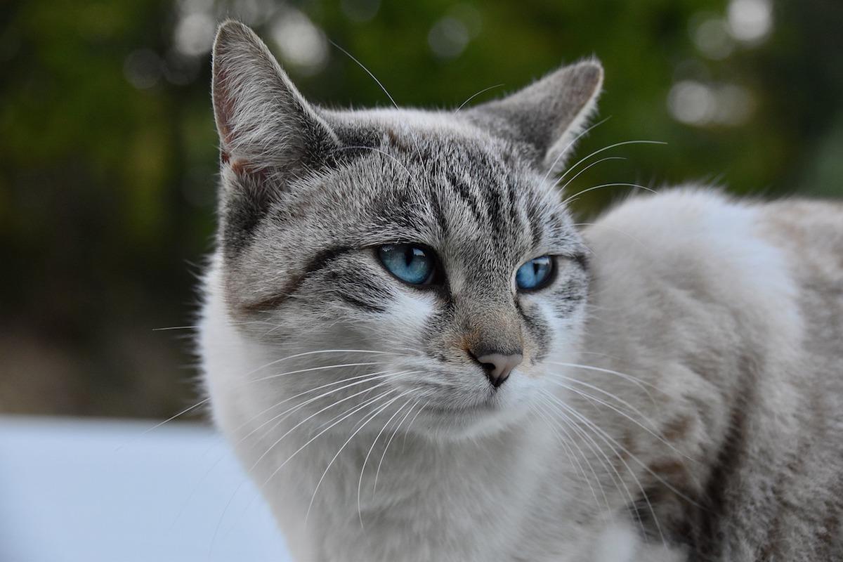 gatto europeo occhi belli