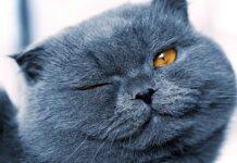 gatto grigio strizza l'occhio