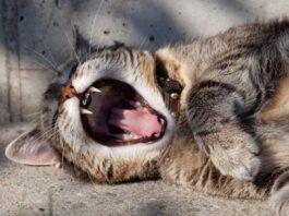 gatto sbadiglia
