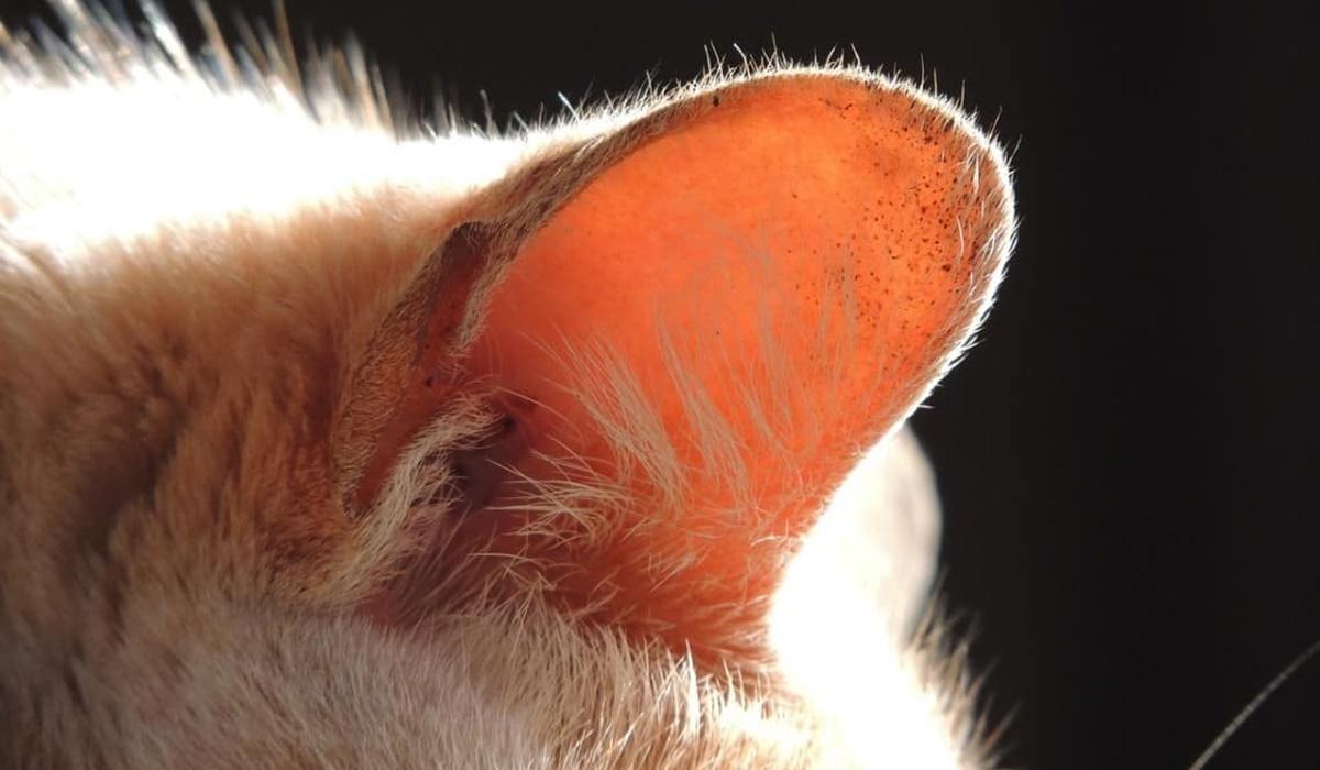 orecchio del gatto