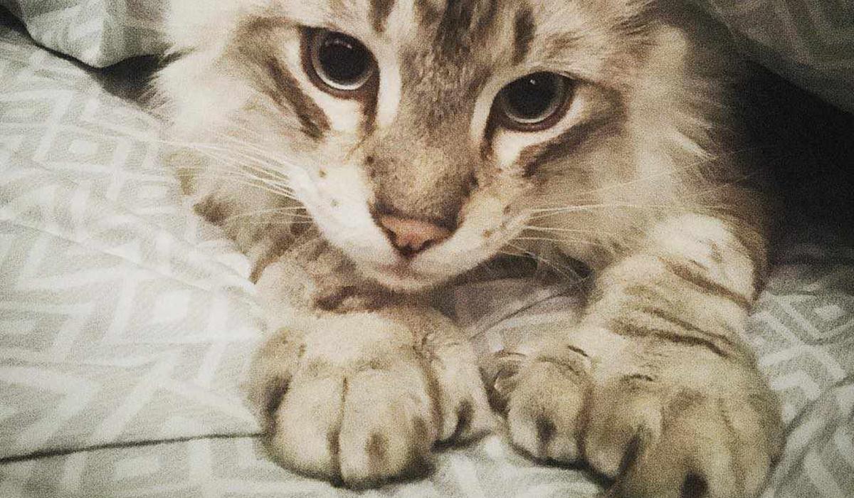gatto maine coon con più di 18 dita