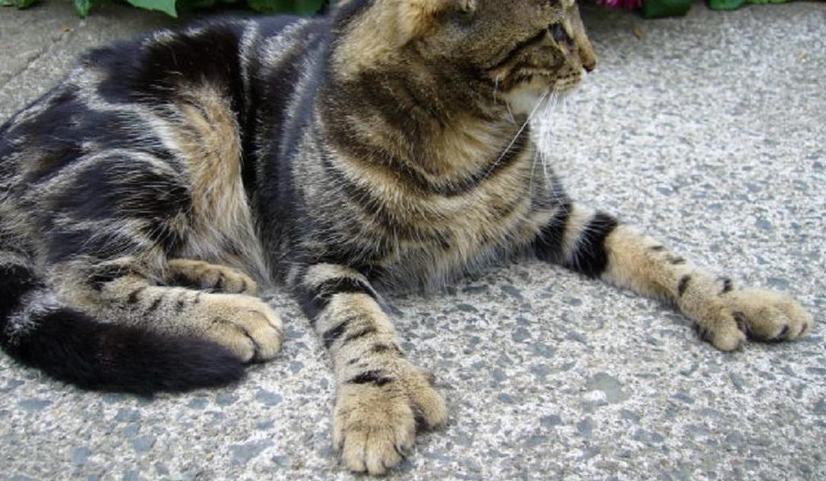 gatto con il mantello tigrato
