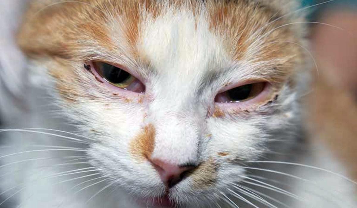 gatto con una malattia degli occhi
