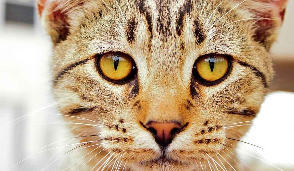 gatto che sembra una tigre