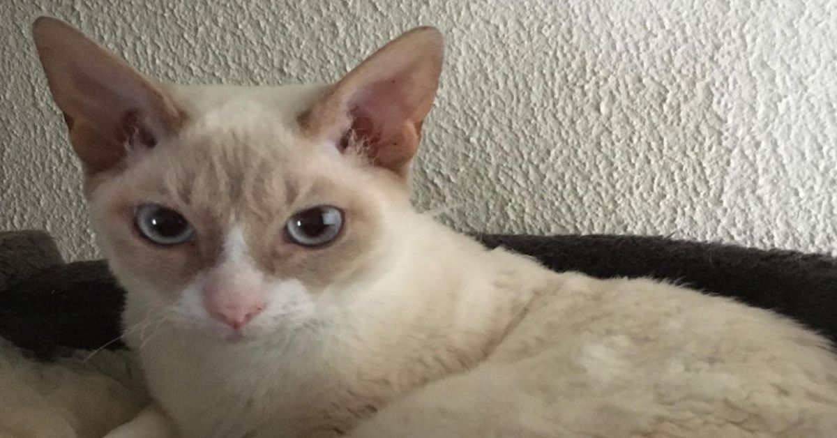 gattino dolce