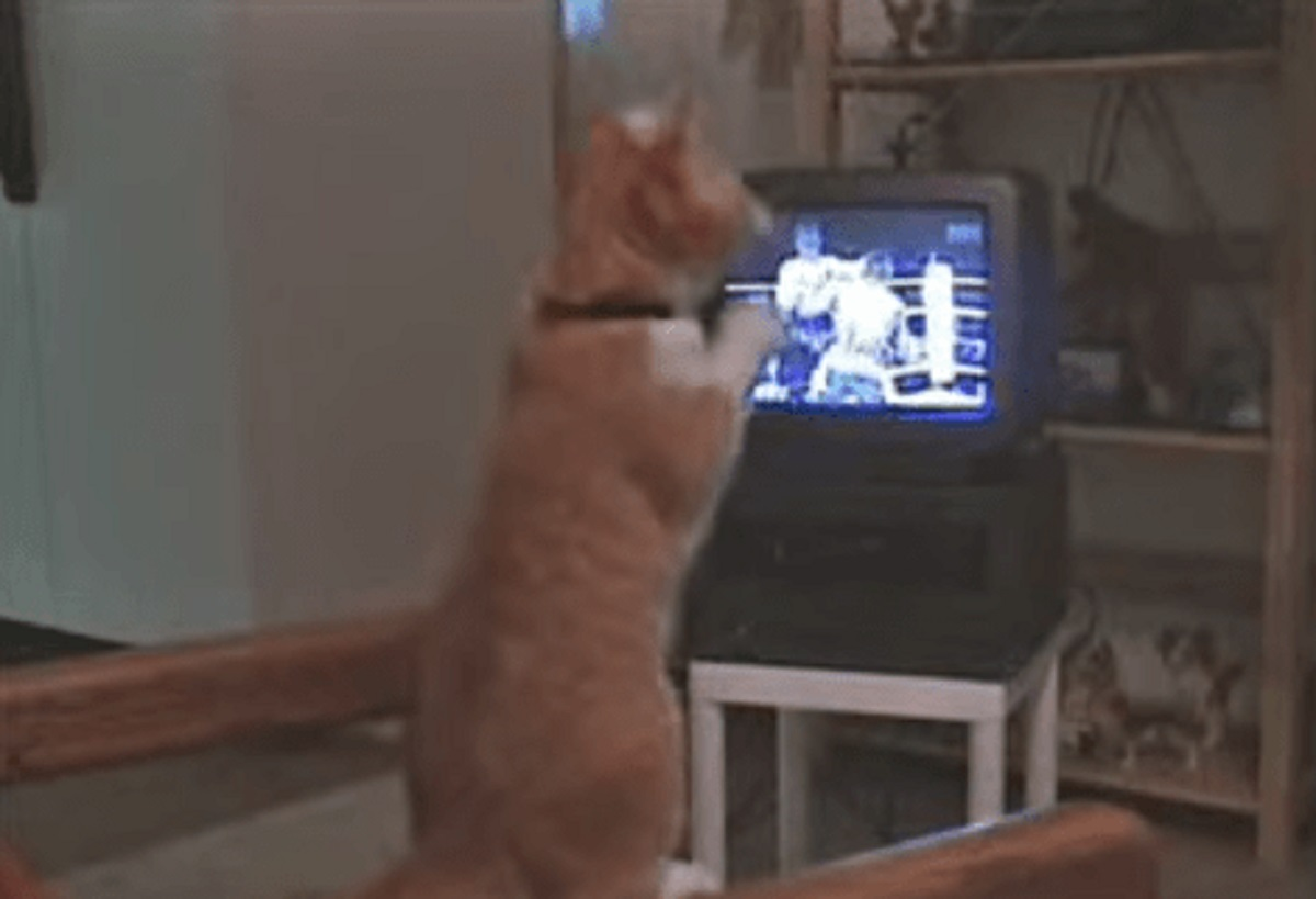 gizmo gatto idoli della box