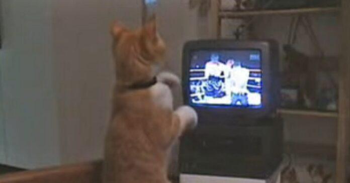 gizmo gattino europeo con la passione per la box