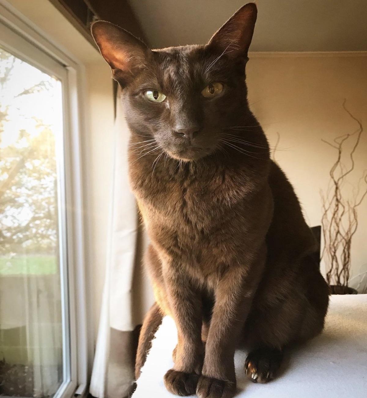 gatto color tabacco