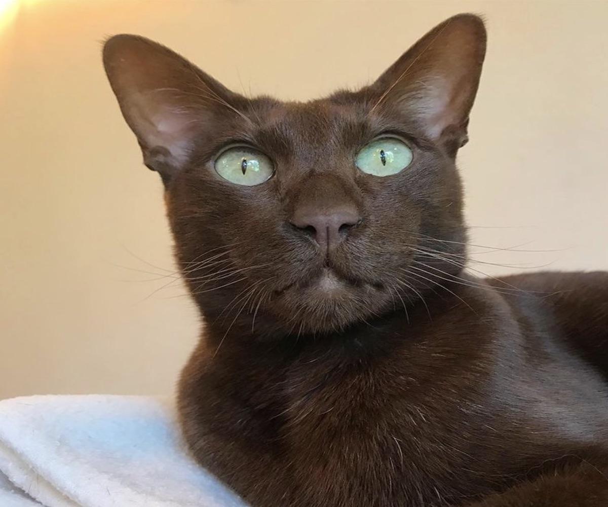 gattino color tabacco