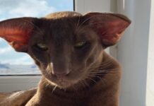 gatto marrone sguardo simpatico