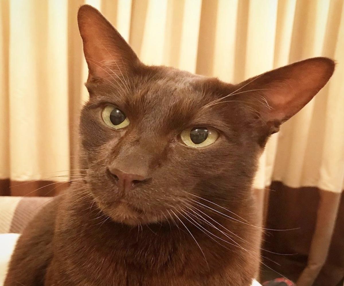 gatto marrone occhi grandi