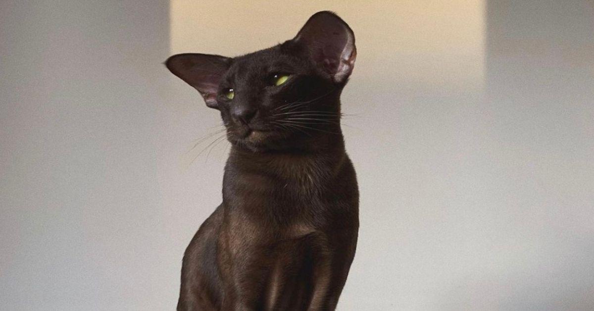 gatto sguardo elegante