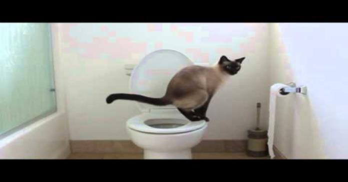 gatto siamese fa i bisogni nel wc