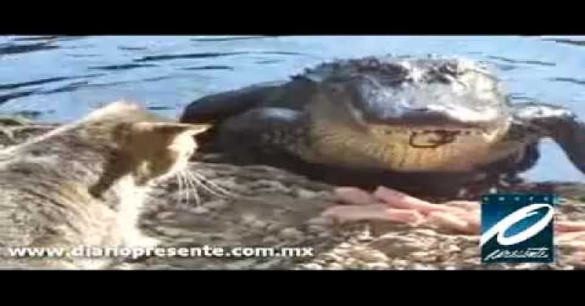 gatto litiga con coccodrillo