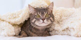 gatto sotto coperta