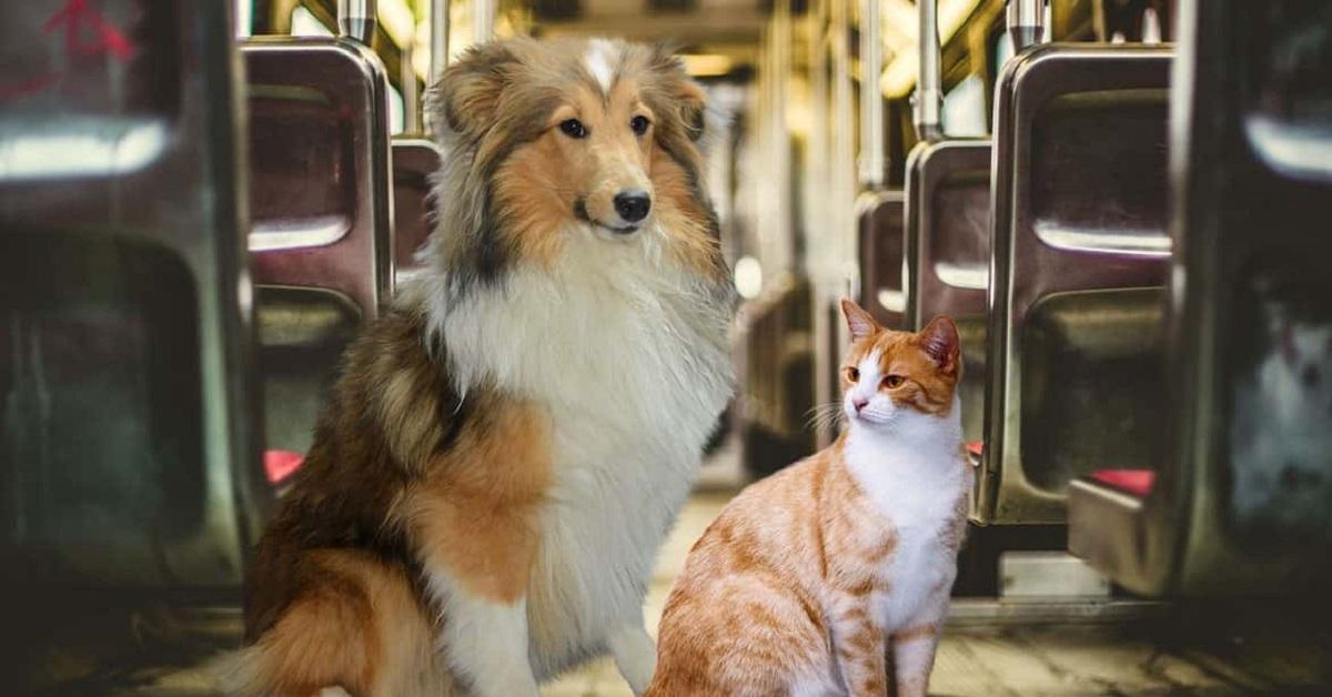 cane collie e gatto rosso e bianco