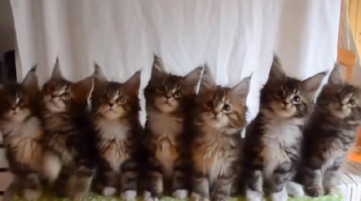 gattini siberiani telo bianco