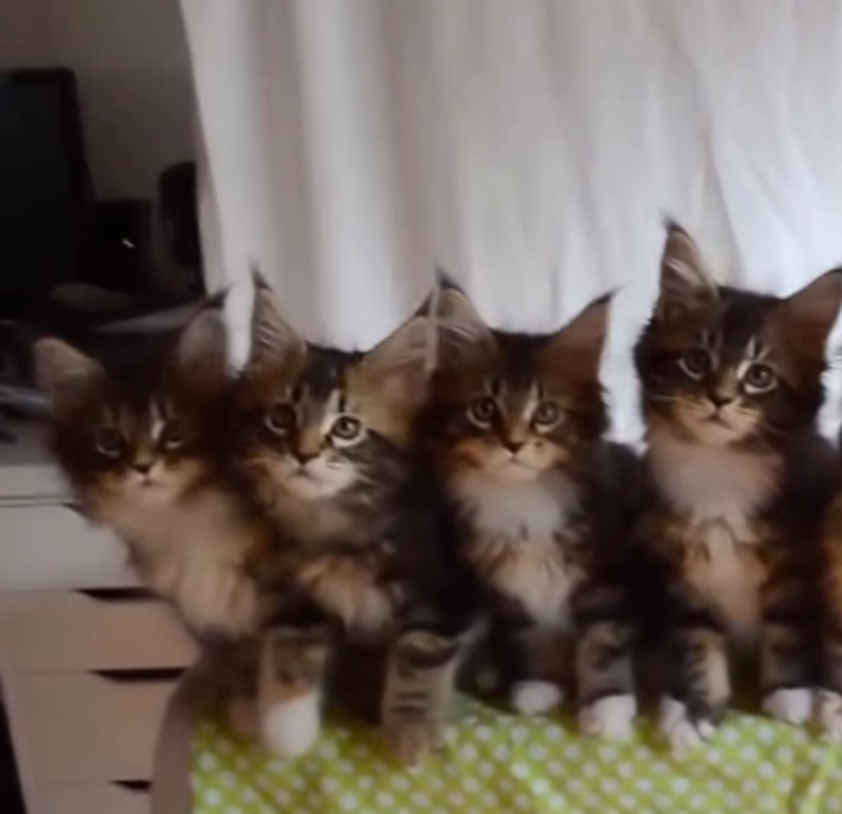 gattini siberiani sincronia perfetta