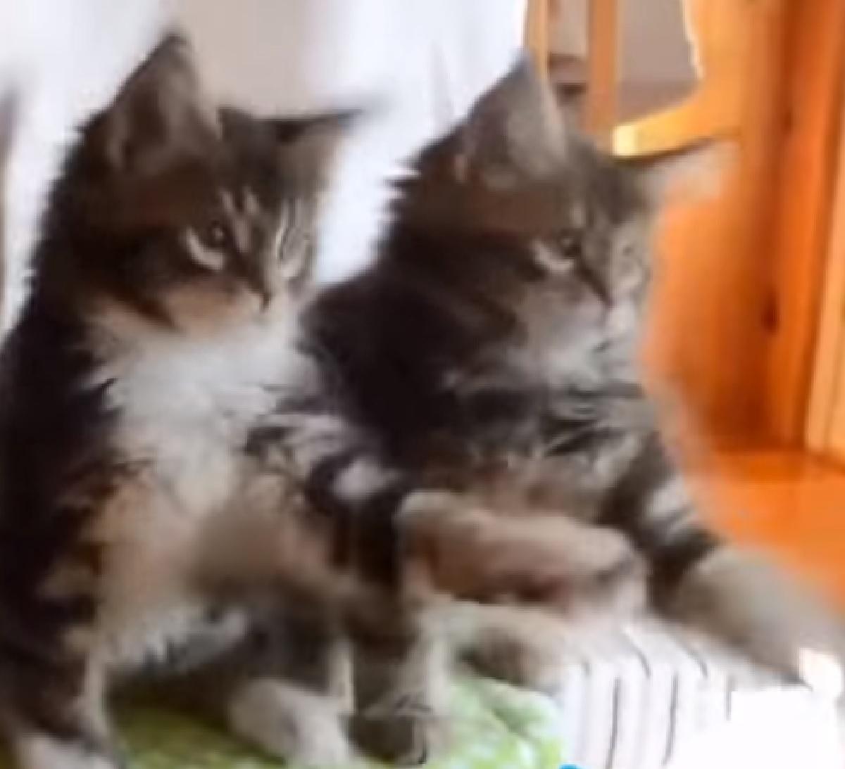 gattini siberiani movimenti supendi