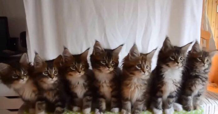 gattini siberiani decidono stupire il web contenuto video inaspettato
