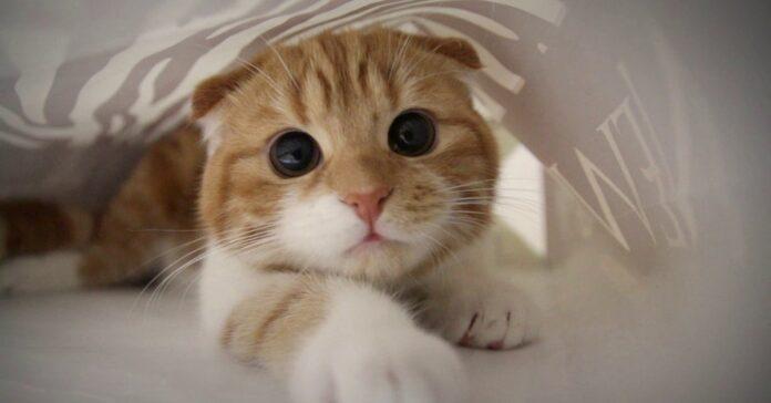 gattino exotic shorthair entra prima volta labirinto