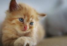 il gattino ha le feci molli
