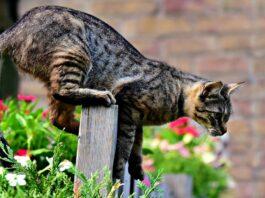 gatto a caccia