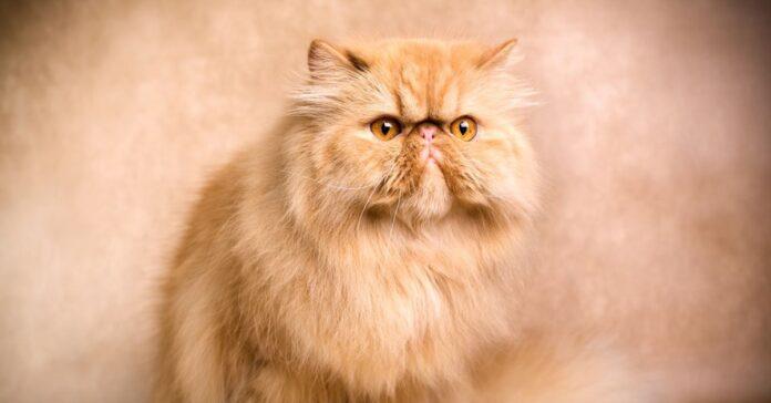 lapew gattino persiano