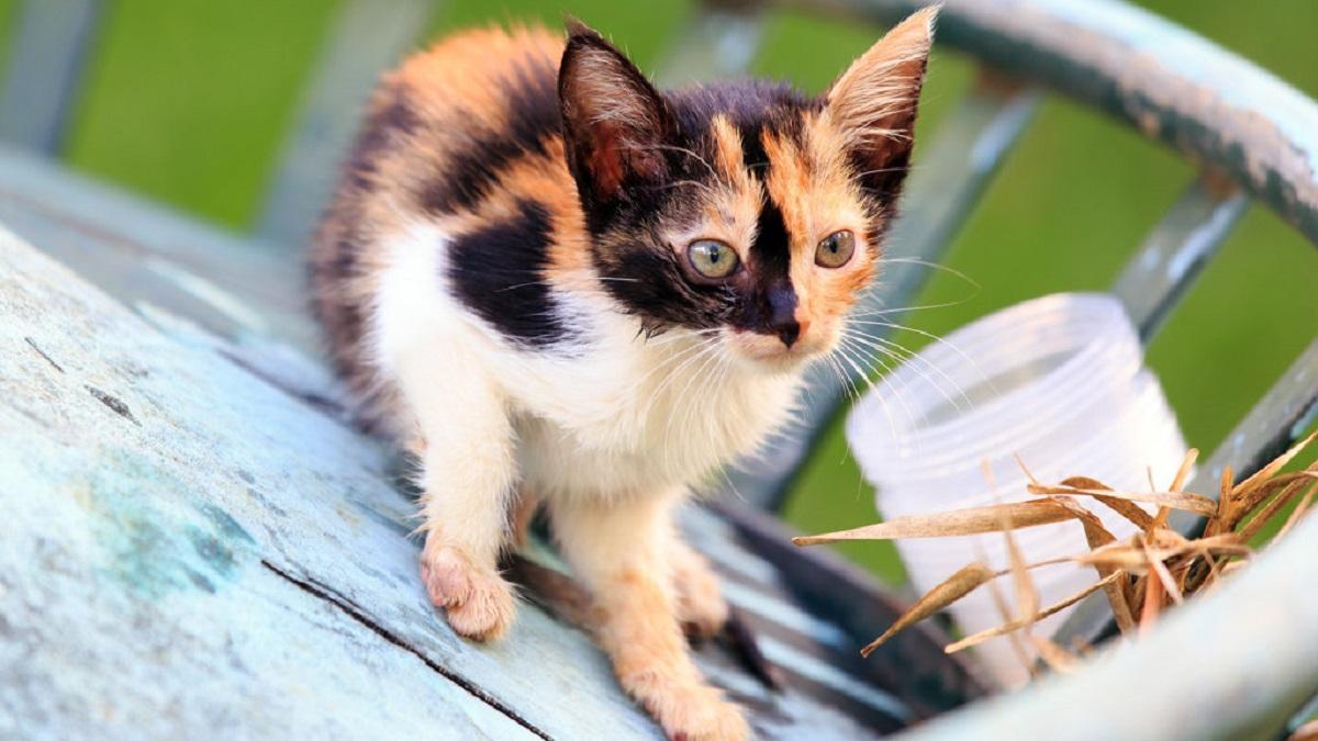 gattino piccolo calico