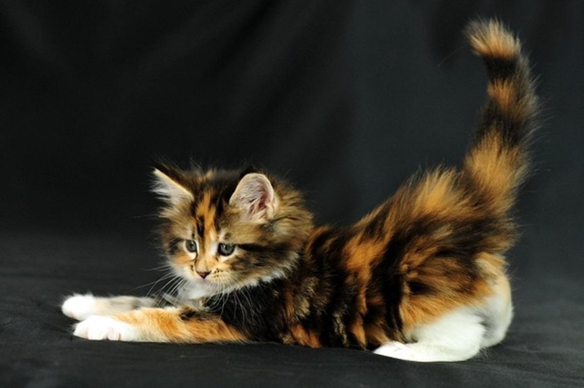 tenero gattino calico