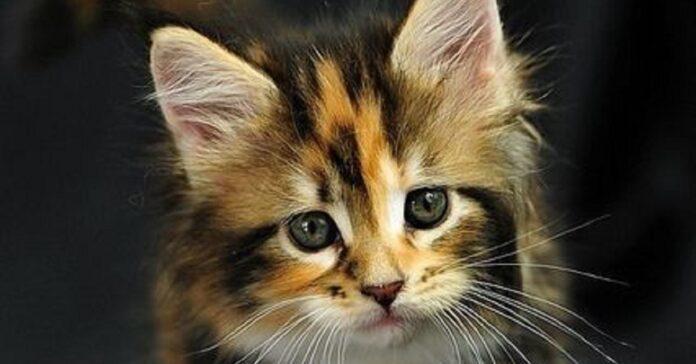 macchiato gattino starbucks