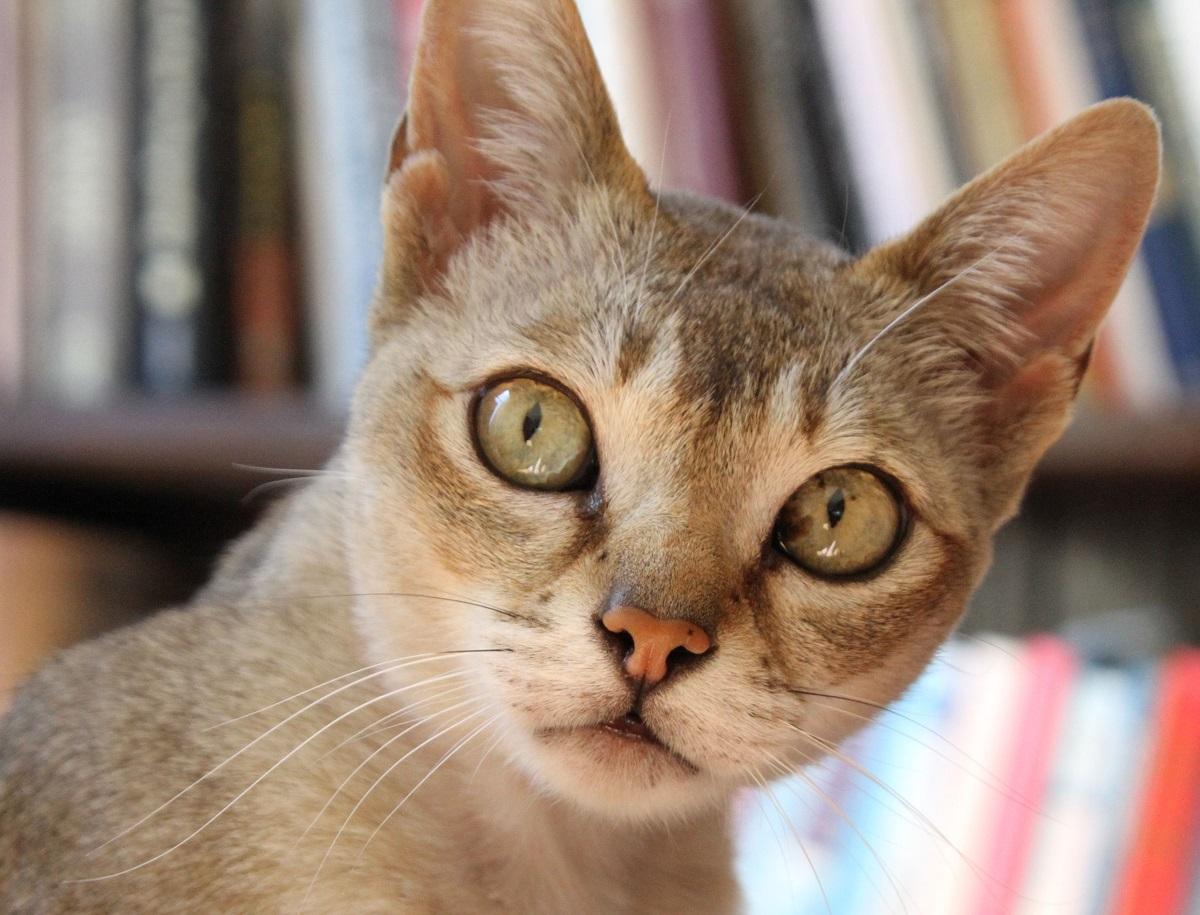 gatto con occhi malati
