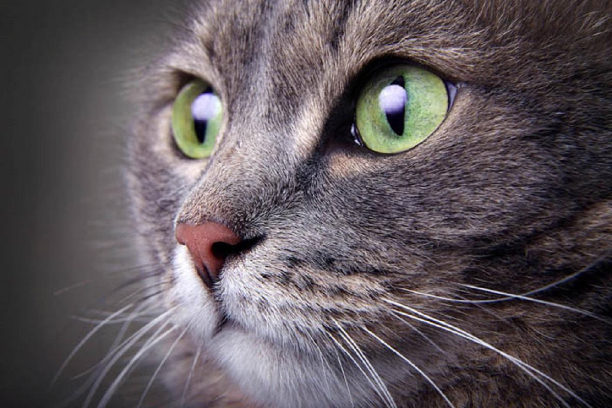 primo piano di gatto gricio