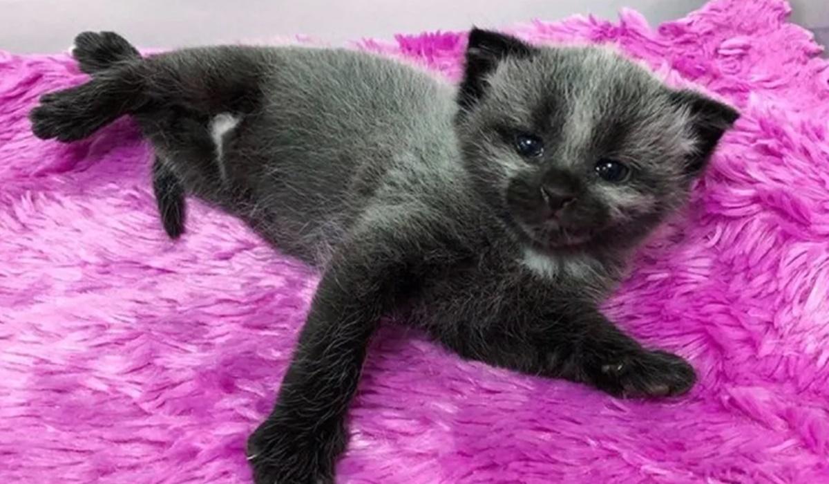 gattino nato con il mantello febbrile