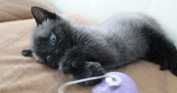 gattino con il pelo argentato