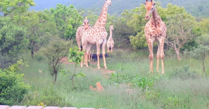 Giraffe conoscono i gatti
