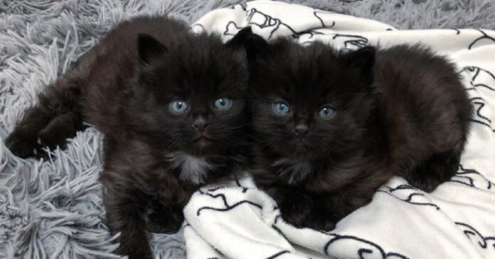 midnight boy gattini gemelli bobtail americani cercano casa