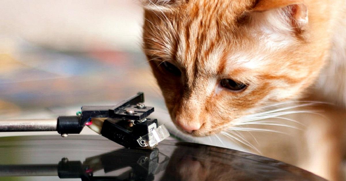 gatto guarda giradischi