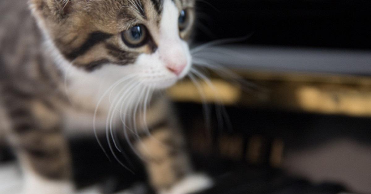 gatto cammina sui tasti del pianoforte