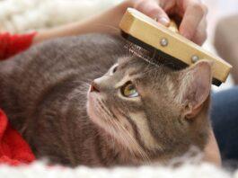 gatto spazzolato in testa
