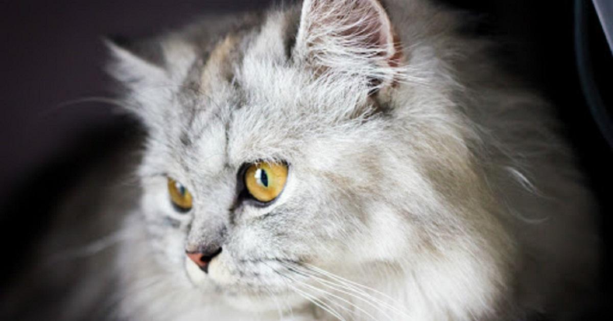 gatto a pelo lungo