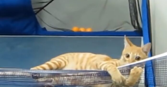 nadi gattino campione di ping pong