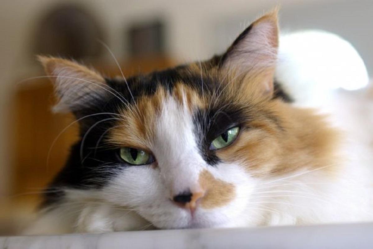 gattina calico foto