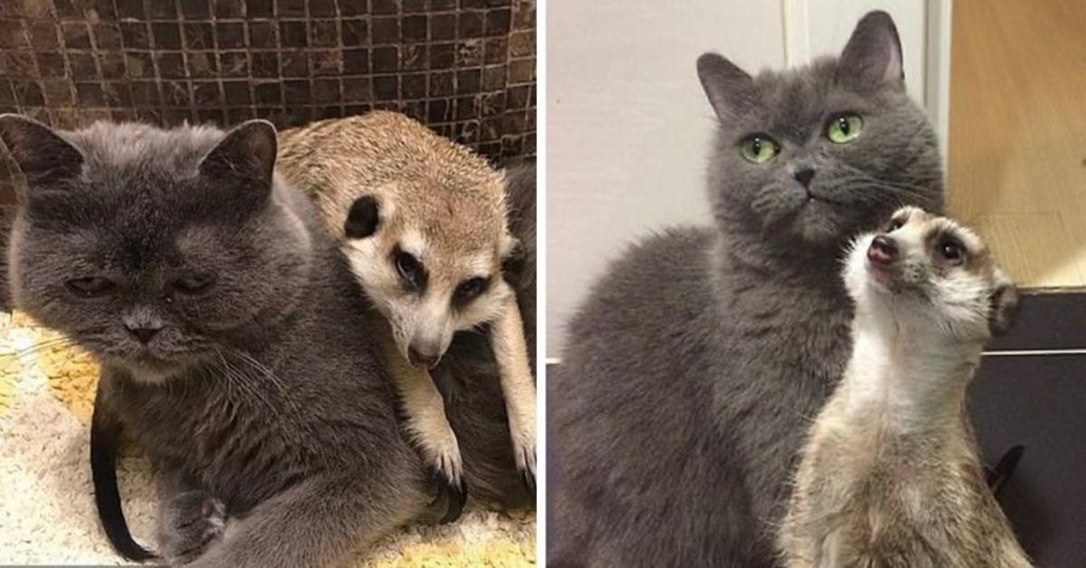suricato e gatto splendida amicizia