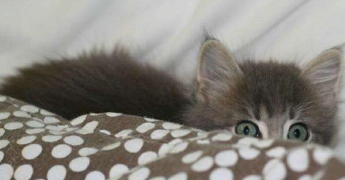 ogni volta fratellino attraversa tenda gattina europea sorprenderlo modo suo
