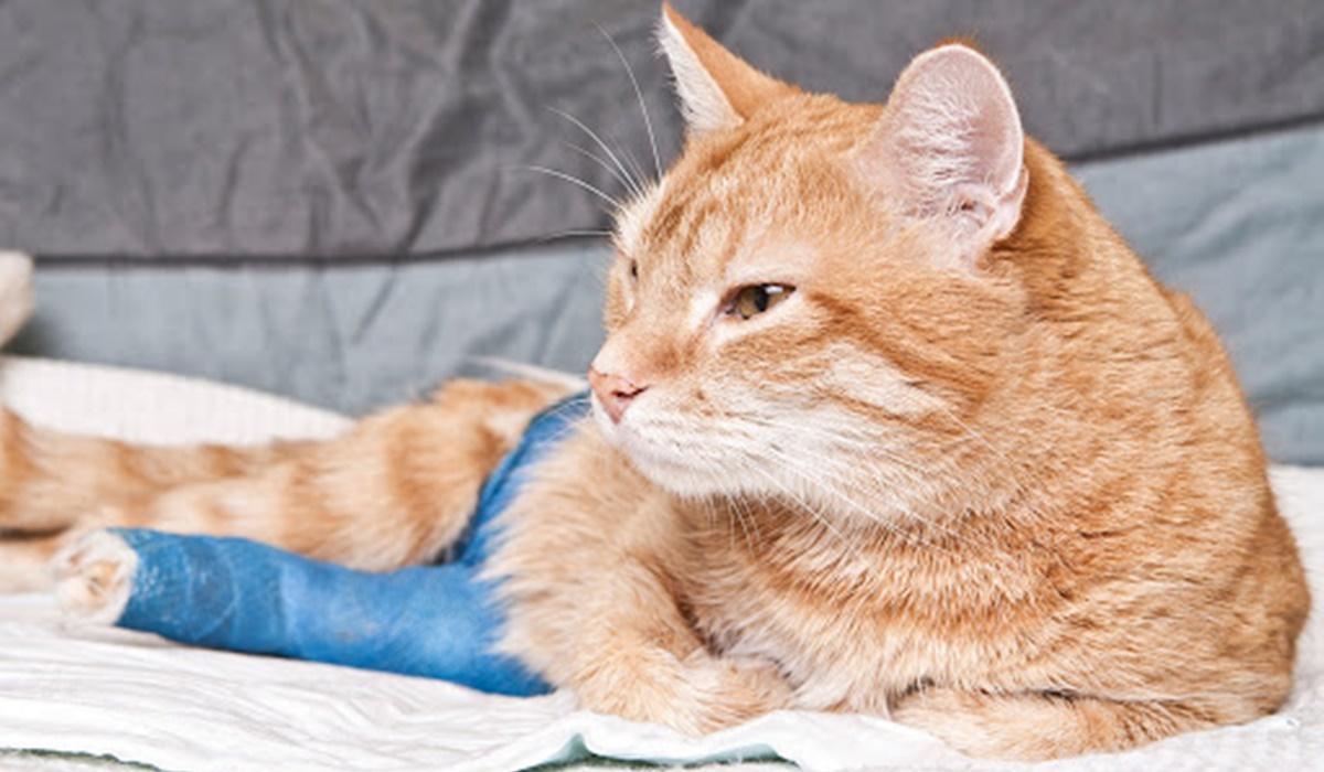 gatto con la zampa fasciata