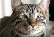 gatto con problemi agli occhi