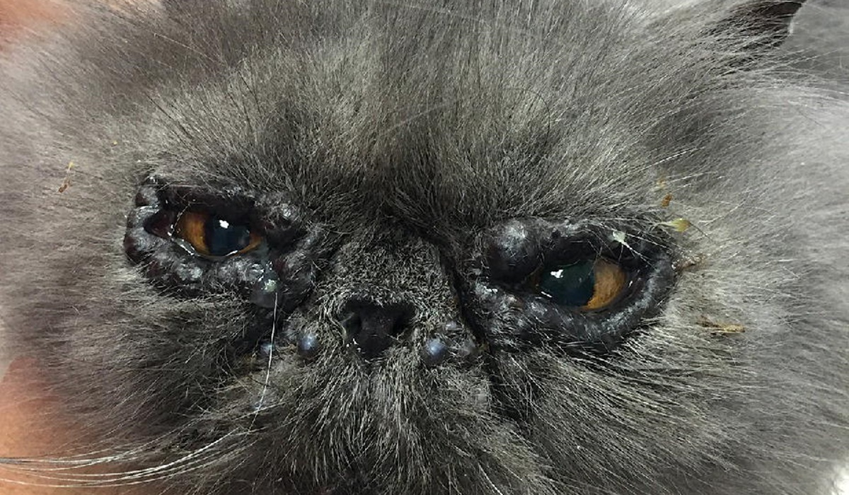 gatto persiano con la congiuntivite