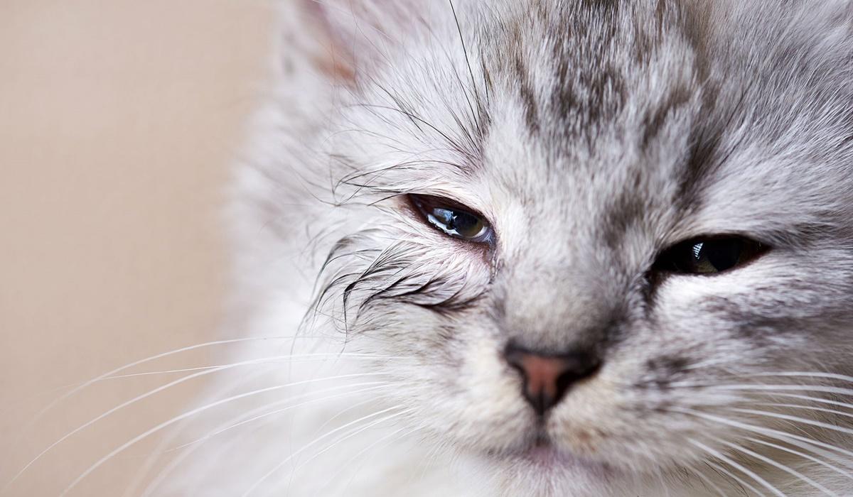 gatto con gli occhi che lacrimano