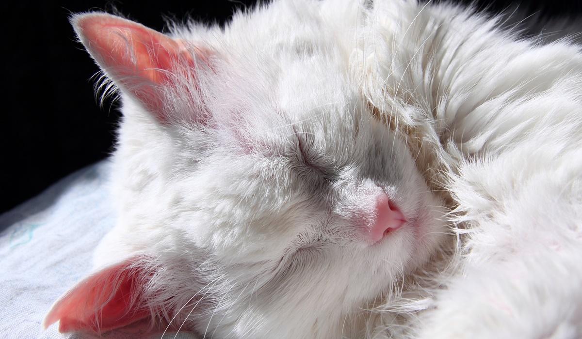 gatto bianco che dorme